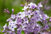 Blossoms of common lilac syringa plant at spring — Stock Photo