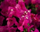 Pink Bougainvillea flowers — Stock Photo