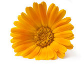 Orange Marigold flower — Stock Photo