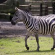 Zebra in a clearing — Stock Photo #52507807