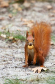 Rode eekhoorn in het wild — Stockfoto