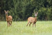 Buck deer with roe-deer — Stock Photo