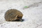 Hedgehog in the wild — Стоковое фото