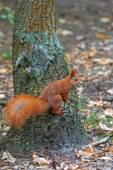 在野生红松鼠 — 图库照片