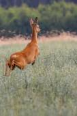 Roe-deer on the run in the wild — Foto de Stock