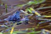 Moor frog in the wild — Stock Photo