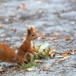 Red squirrel in the wild — Stock Photo #64299925