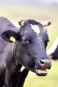 Cow in a clearing — Stock Photo