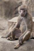 Monkey sitting on a rock — Stock Photo