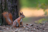 Red squirrel in the wild — Stock Photo