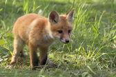 Fox in the wild — Stock Photo