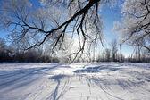 Oaks in hoarfrost — Stock Photo