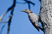Northern Flicker Clinging To Side of Tree — Stock Photo