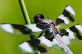 Dragonfly uppe på slutet av twig — Stockfoto