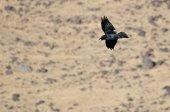 Raven comum chamar como ele voa sobre o vale — Fotografia Stock