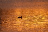Lone Duck Swimming Across Golden Pond at Sunset — Stock Photo