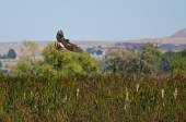 Northern Harrier Hunting on the Wing — Stock Photo
