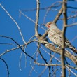 Northern Flicker Perched in a Tree — Stock Photo #57342171