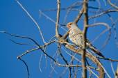 Northern Flicker Perched in a Tree — Stock Photo