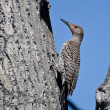Northern Flicker Clinging To Side of Tree — Stock Photo #57486849