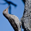 Northern Flicker Clinging To Side of Tree — Stock Photo #57486879
