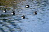 Ring-Necked Ducks Swimming on the Water — Stock Photo