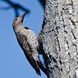 Northern Flicker Clinging To Side of Tree — Stock Photo #58098051