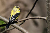 Male Goldfinch Changing to Breeding Plumage — Stock Photo