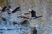 Canada Geese Flying Over Water — Stock Photo