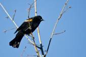 Red-Winged Blackbird Perched in Tree — Stock Photo