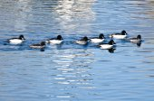 Common Goldeneye Ducks Swimming on the Water — Stock Photo