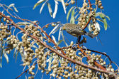 Yellow-Rumped Warbler and a Feast of Berries — Stock Photo