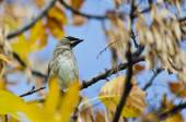 Cedar Waxwing Perched in an Autumn Tree — Stock Photo