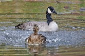 Female Duck Playfully Splashing a Canada Goose — Stock Photo