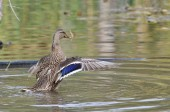Female Mallard Duck with Outstretched Wings — Stock Photo
