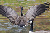 Canada Goose with Outstretched Wings — Stock Photo