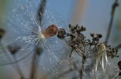 Snagged Milkweed Seed Glistening in the Sunlight — Stock Photo