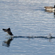 American Coot Running Past Canada Goose — Stock Photo #58459929