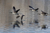 Four Canada Geese Taking to Flight from a Lake — Stock Photo