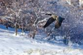 Canada Goose Flying Over a Winter Lake — Stock Photo