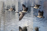 Five Canada Geese Taking to Flight from a Lake — Stock Photo