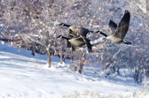 Three Canada Geese Flying Over a Winter Lake — Stock Photo