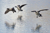 Three Canada Geese Landing on Winter Lake — Stock Photo