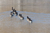 Canada Geese Looking to Right While Swimming on Lake — Foto de Stock