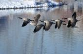 Canada Geese Taking to Flight from a Winter Lake — Stock Photo