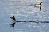 American Coot Running Past Canada Goose — Stock Photo