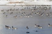 Flock of Canada Geese Resting on a Winter Lake — Stock Photo