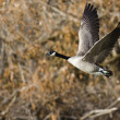 Canada Goose Flying Across the Autumn Woods — Stock Photo #59569547