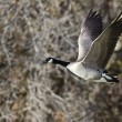 Canada Goose Flying Across the Autumn Woods — Stock Photo #60077657