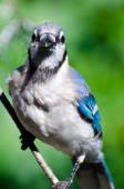 Blue Jay Making Eye Contact — Stock Photo